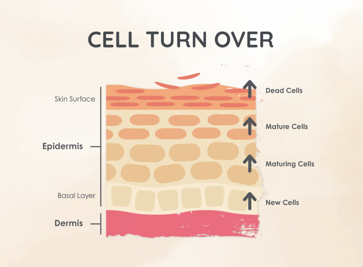 Cell Turnover Process