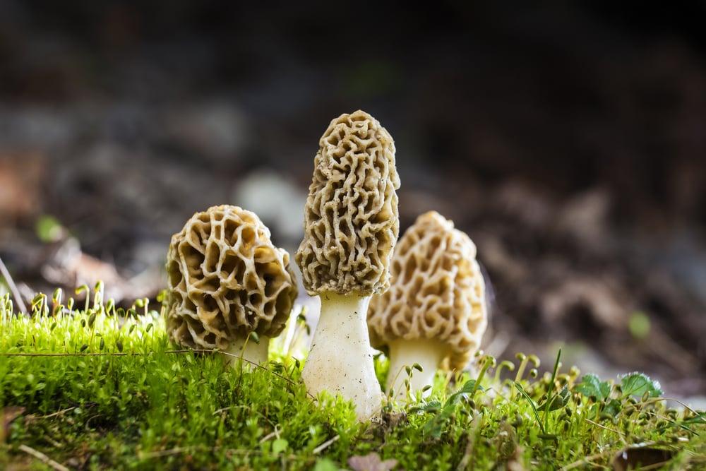 morel mushrooms weird mushrooms